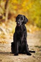 perro perdiguero negro peludo foto
