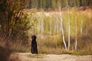 Retriever mojado sentado en el fondo de los árboles de otoño foto