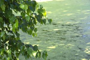 Birch by the water. Branches bend over the water. A background of leaves by an overgrown pond. photo