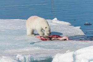 Two wild polar bears eating killed seal on the pack ice north of Spitsbergen Island, Svalbard photo
