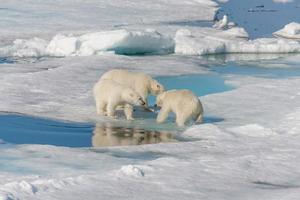 Wild polar bear mother and two young cubs on the pack ice, north of Svalbard Arctic Norway photo