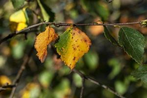 hojas de abedul cambiando de color en otoño foto