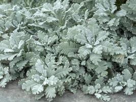 Primer plano de encaje plateado hojas de tanaceto tanacetum haradjanii foto