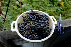 cosecha de uvas cultivadas en siberia omsk 2021 foto