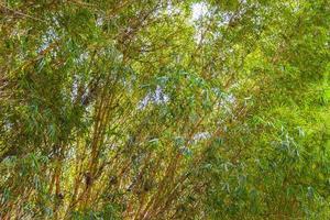 árboles de bambú verde amarillo bosque tropical san josé costa rica. foto