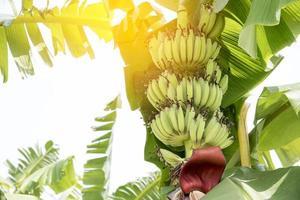 Fruta de plátano cruda con hojas de plátano en la naturaleza foto