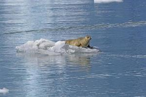 Harbor Seal on the Ice photo