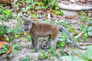 Mono macaco en el bosque de la selva tropical en Koh Phayam, Tailandia foto
