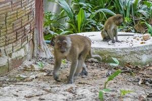 Monos macacos en el bosque de la selva tropical en Koh Phayam, Tailandia foto