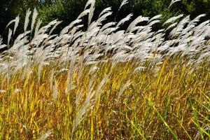 Tender feather grass photo