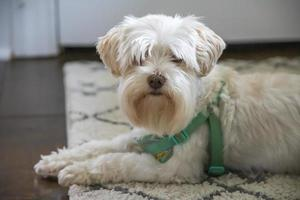 White fluffy dog with a green collar photo