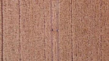 Flygfoto över två kvinnliga vänner som håller varandra medan de går genom ett vetefält tillsammans. jordbruk och vänskap koncept. video