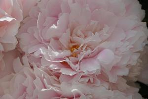 Detail Of Paeonia Lactiflora, Beautiful Large Peony Flowers In The Garden. Light Pink And White Background. photo