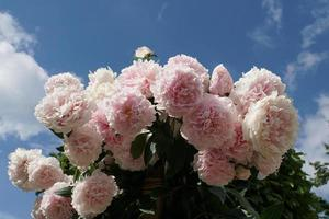 Soft Pink Paeonia Lactiflora, Beautiful Large Peony Flowers In The Garden. Blue Sky And White Clouds Background. photo