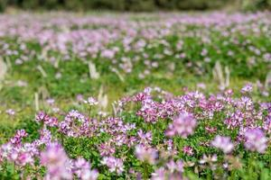 In the countryside, purple milk vetch is in the field photo