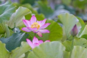 hay muchas flores de loto rosa en el estanque de lotos foto