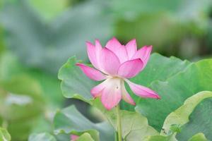 una flor de loto rosa sobre un fondo de hoja de loto verde foto