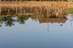 el loto marchito en el estanque de lotos en otoño foto