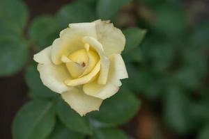 rosas amarillas sobre un fondo verde foto
