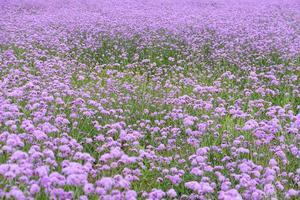 Purple Verbena in the field photo