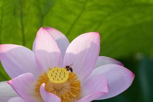 loto rosa en el estanque de loto de verano foto