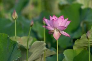 la flor de loto rosa en verano foto