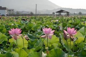 Loto rosa y hojas de loto verde en el estanque de lotos en el campo foto