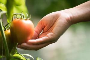 Female hand holding tomato on organic farm photo
