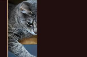 primer plano de la cabeza de un gato. copia espacio foto