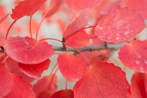 Red autumn leaves on a branch. photo