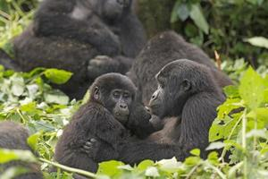 Mother and Child Gorilla in the Forest photo