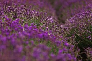 campo de lavanda en la provenza, flores de lavanda fragantes violetas en flor. lavanda creciente meciéndose en el viento sobre el cielo del atardecer, foto