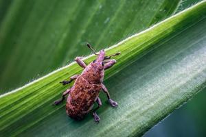 primer plano de gorgojo en una hoja. un insecto escarabajo amarillo con el nombre latino curculionoidea. foto