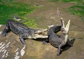 Crocodile Action on the Farm. photo