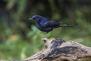 pájaro en la naturaleza petirrojo de cola blanca foto