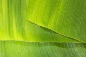 textura de hoja de plátano verde foto