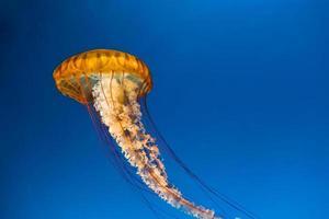 Close up of jellyfish in an aquarium under bright blue lights. photo