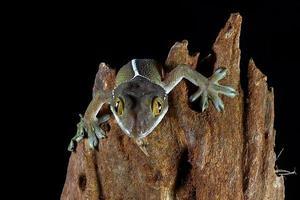 lagarto gecko línea blanca foto