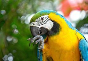 Retrato de guacamayo azul dorado en un ambiente natural. foto