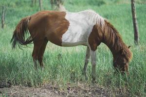 Poni caballo marrón comiendo hierba en la granja foto