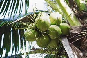Close up coconut cluster on tree, Coconut cluster on coconut tree photo