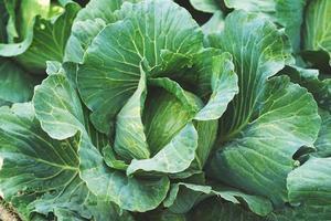Comida vegetal de repollo orgánico en el jardín de campo foto