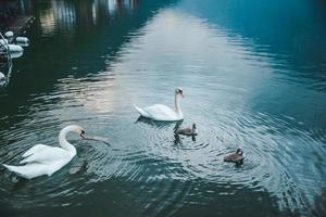 Swans family in lake water close up photo