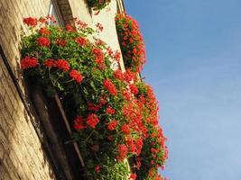Red geranium flower over blue sky photo