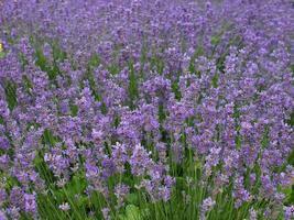 Purple Lavender flowers photo