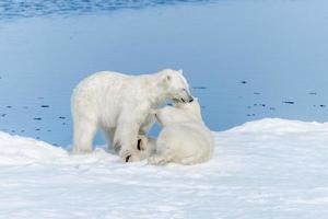 Two young wild polar bear cubs playing on pack ice in Arctic sea, north of Svalbard photo