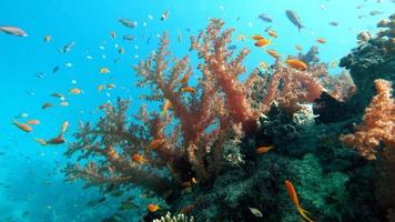 Coral gardens in the Red Sea photo