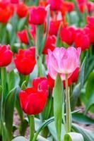 tulipanes de colores en el jardín. foto