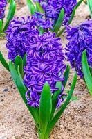 Purple hyacinths flower bloom in garden photo