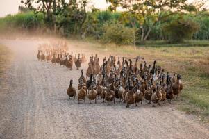 Flock of ducks herding on dirt road photo